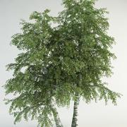 白桦树6桦木pebdula 3d model