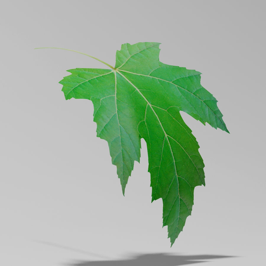 Sycamore maple leaf (Acer pseudoplatanus) royalty-free 3d model - Preview no. 6