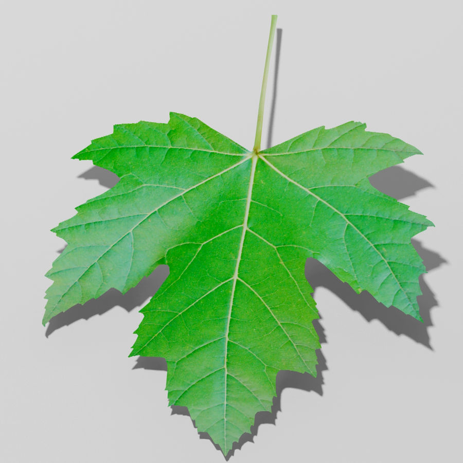 Sycamore maple leaf (Acer pseudoplatanus) royalty-free 3d model - Preview no. 1