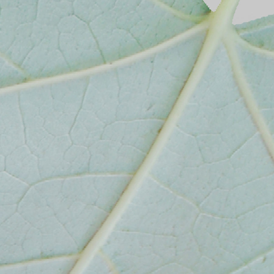 Sycamore maple leaf (Acer pseudoplatanus) royalty-free 3d model - Preview no. 13