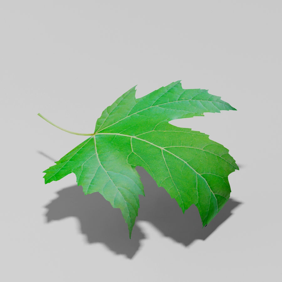 Sycamore maple leaf (Acer pseudoplatanus) royalty-free 3d model - Preview no. 8