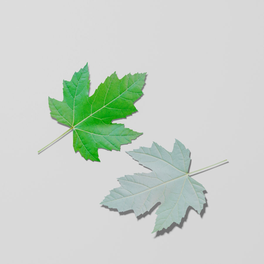 Sycamore maple leaf (Acer pseudoplatanus) royalty-free 3d model - Preview no. 12