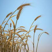 エマー小麦畑 3d model