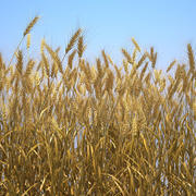 Durum Wheat Field 3d model