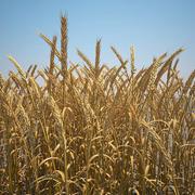 Champ de blé commun 3d model