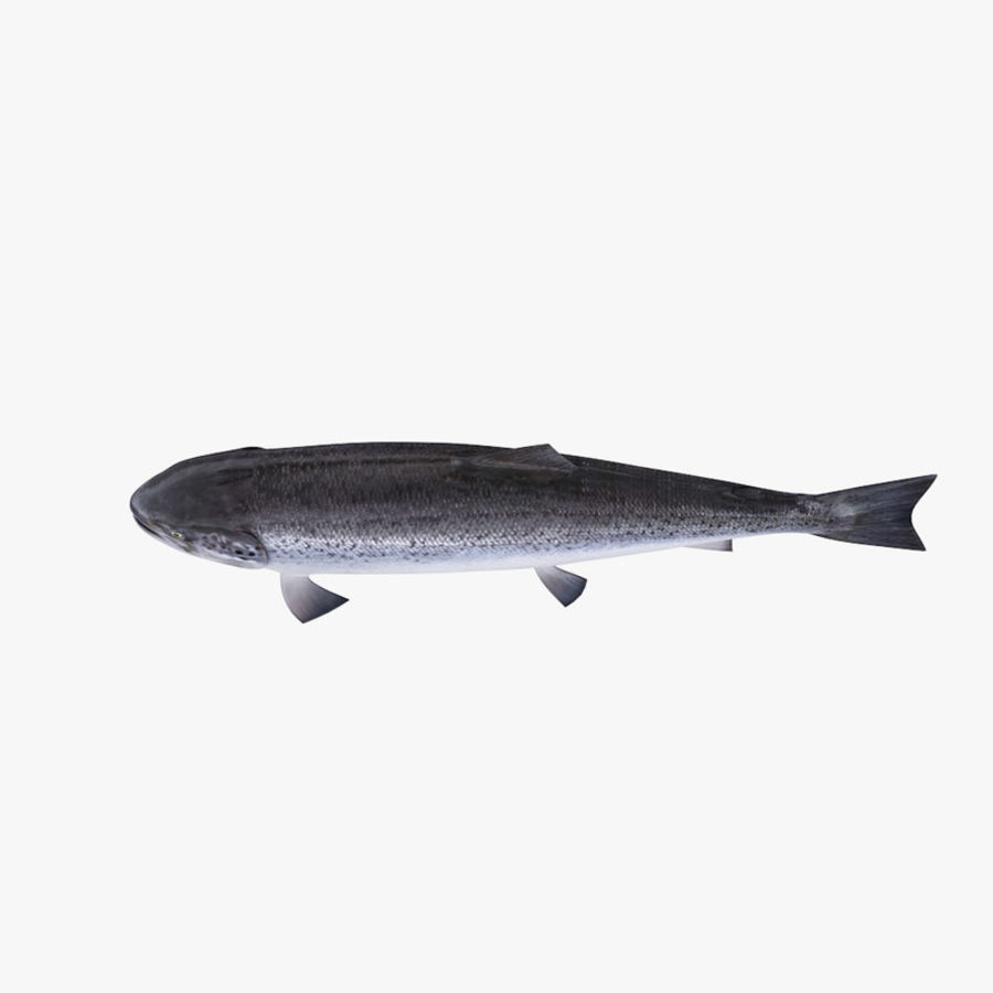 Salmone atlantico royalty-free 3d model - Preview no. 4