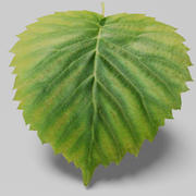 Dove tree leaf (Davidia involucrata) 3d model