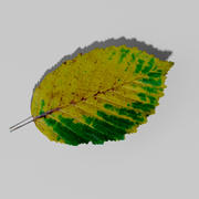 Hornbeam autumn leaf (Carpinus betulus) 3d model