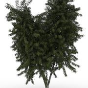 Eukalyptusbaum - beschmutzter Gummi 3d model