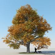 メープルツリー秋4 3d model