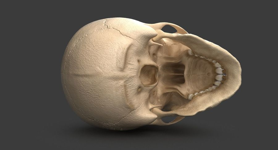 Human Skull royalty-free 3d model - Preview no. 8