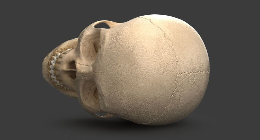 Human Skull royalty-free 3d model - Preview no. 7