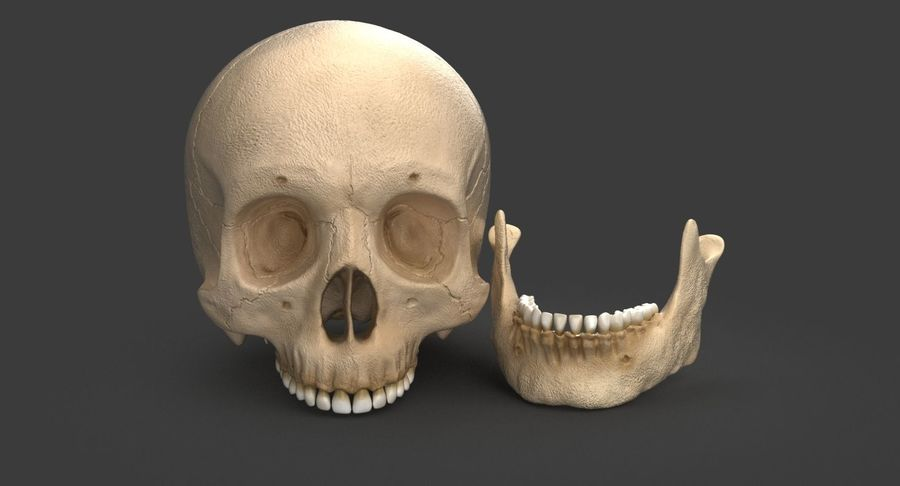 Human Skull royalty-free 3d model - Preview no. 9