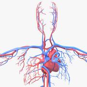 Circulatory system 3d model