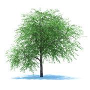 Cherry tree blossomed 3d model