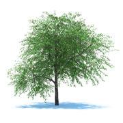 Cerisier aux baies 3d model