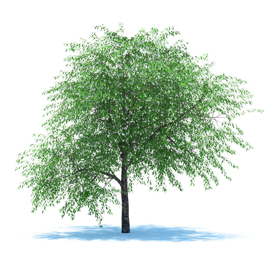 Cherry tree blossomed royalty-free 3d model - Preview no. 1