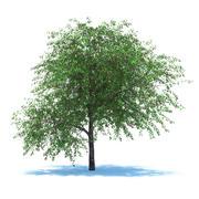 Вишневое дерево с ягодами 3d model