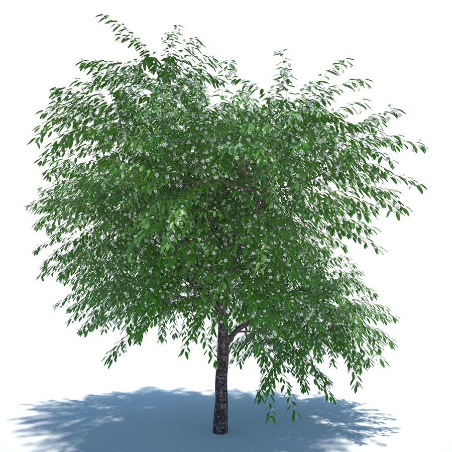 Cherry tree blossomed royalty-free 3d model - Preview no. 2