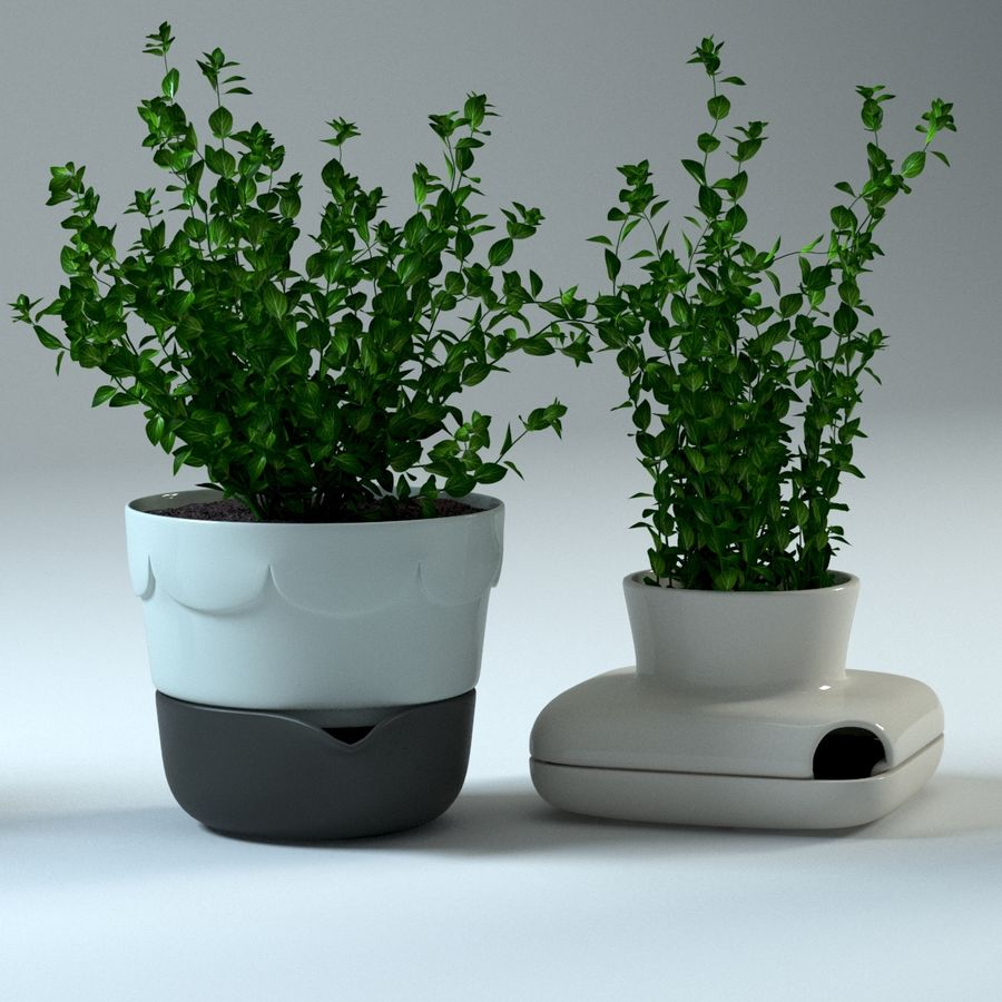 Oregano royalty-free 3d model - Preview no. 2