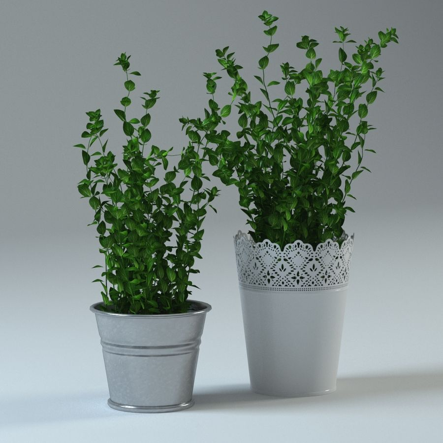 Oregano royalty-free 3d model - Preview no. 4