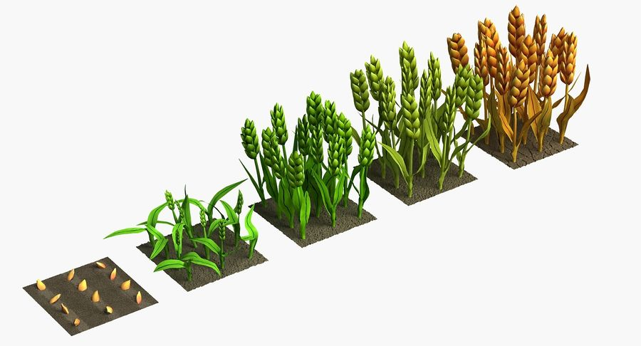 Barley cartoon (stages of grow) royalty-free 3d model - Preview no. 2