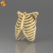 Menselijke ribbenkast 3d model