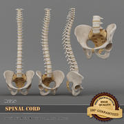 Spinal Cord 3d model