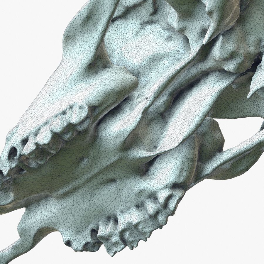 Cow Skull 2 scan royalty-free 3d model - Preview no. 1