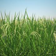 Asian Rice Field 3d model