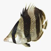 Gebänderte Falterfische 3d model