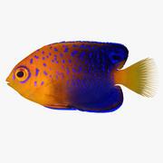 Interuptus Zwerg Angelfish 3d model