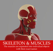 The ecorche Precise anatomy model of human skeleton with all muscles. 3d model