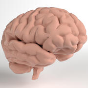 Anatomi - Human Brain (Cerebrum, Cerebellum, Brain Stem) (PBR, UV-oöppnad) 3d model