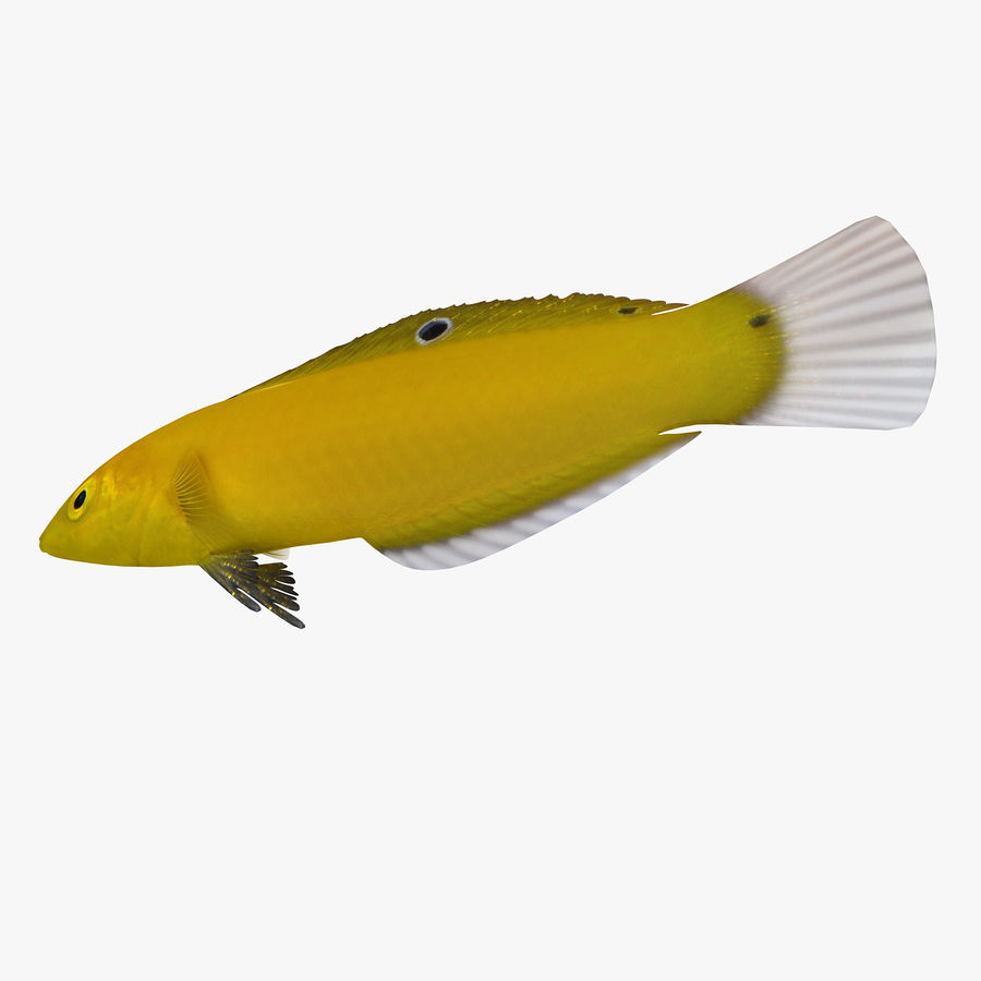 Canary Wrasse royalty-free 3d model - Preview no. 1
