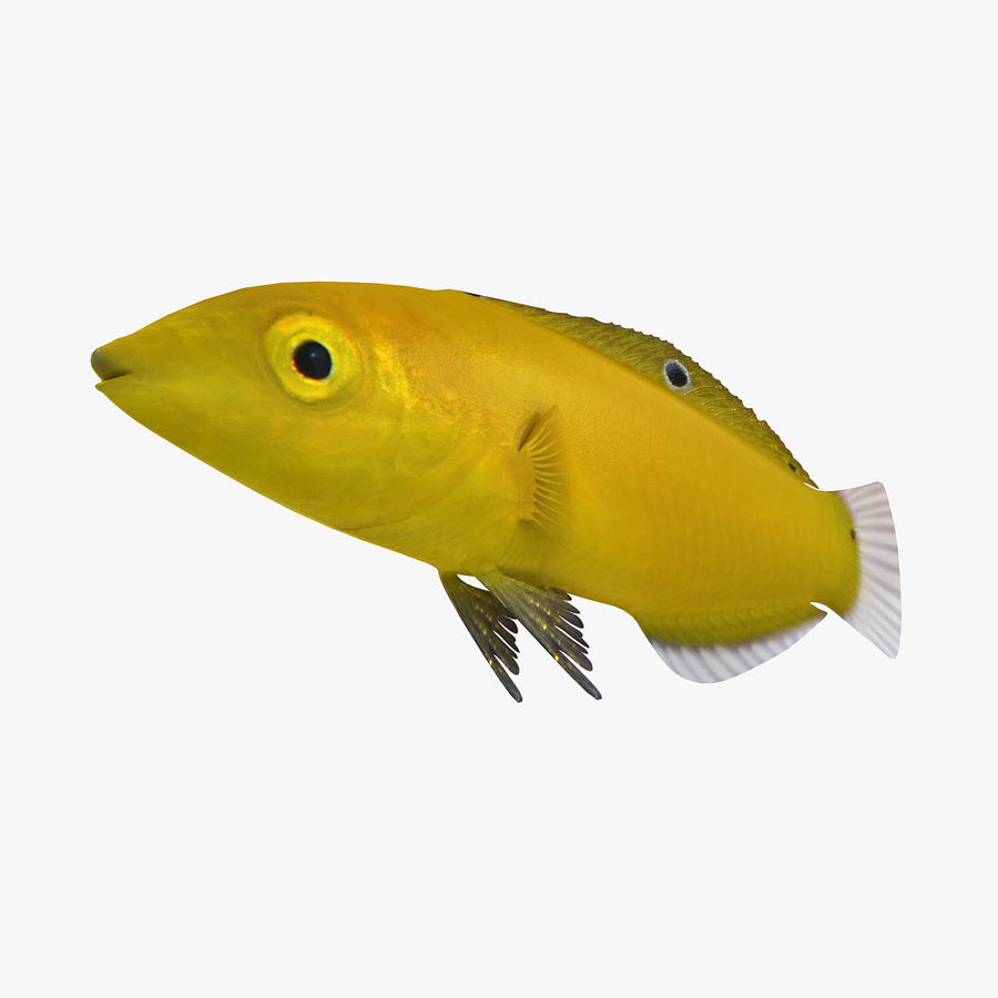 Canary Wrasse royalty-free 3d model - Preview no. 2