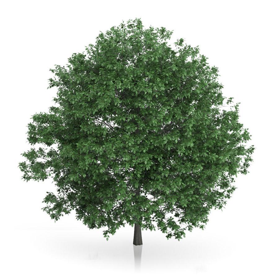 普通角树(Carpinus betulus)10.7m royalty-free 3d model - Preview no. 3
