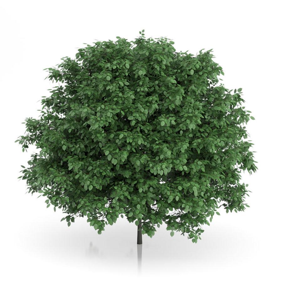 普通角树(Carpinus betulus)4.6m royalty-free 3d model - Preview no. 3