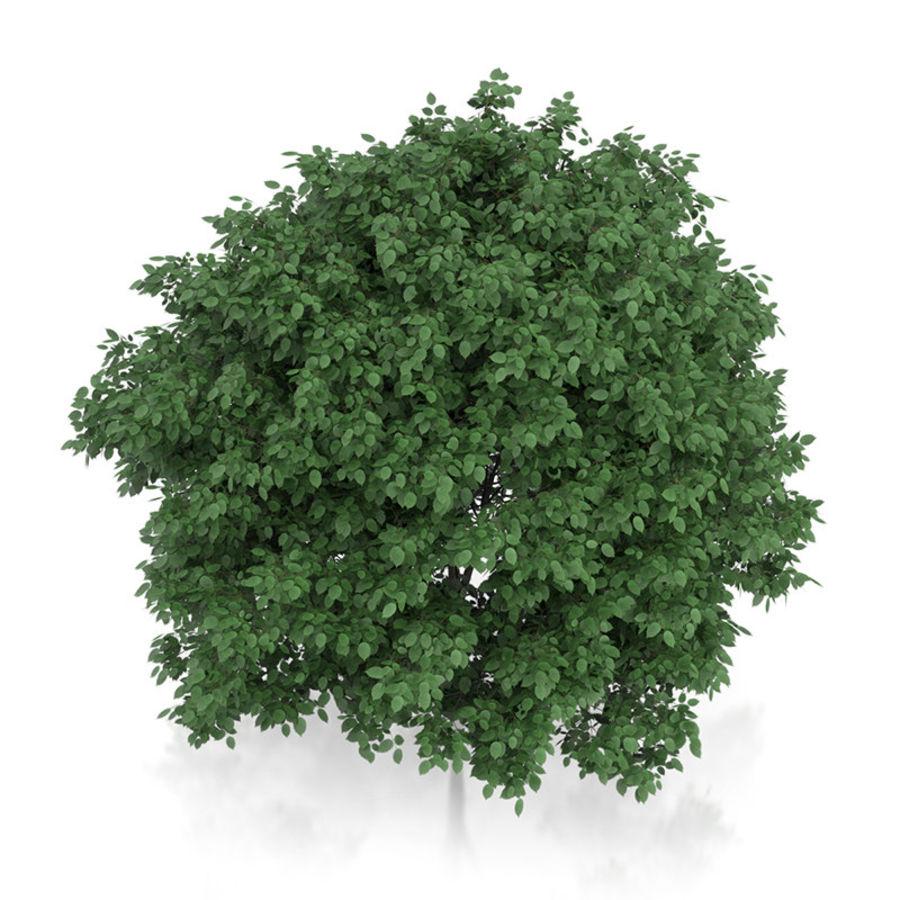 普通角树(Carpinus betulus)4.6m royalty-free 3d model - Preview no. 5