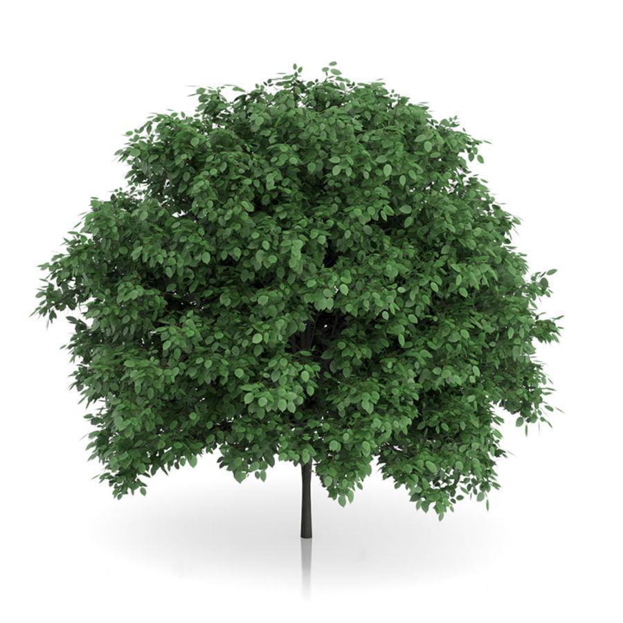 普通角树(Carpinus betulus)4.6m royalty-free 3d model - Preview no. 1