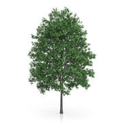 Common Hornbeam Tree (Carpinus betulus) 14.5m 3d model