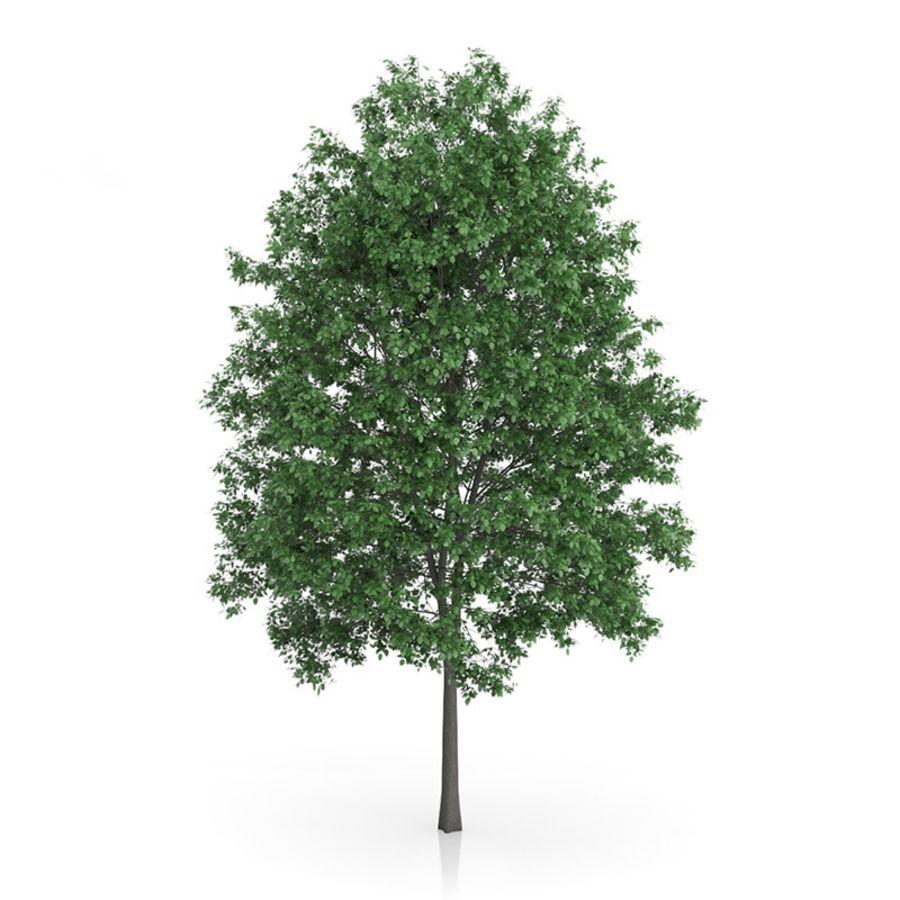 Common Hornbeam Tree (Carpinus betulus) 14.5m royalty-free 3d model - Preview no. 1