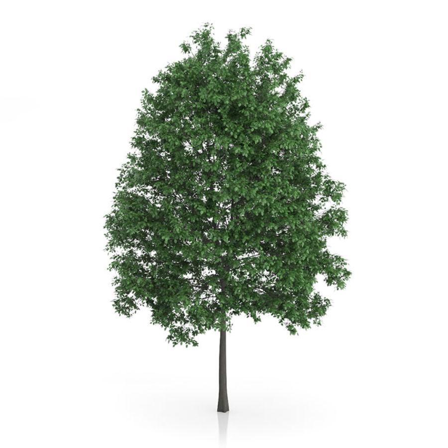 Common Hornbeam Tree (Carpinus betulus) 14.5m royalty-free 3d model - Preview no. 3
