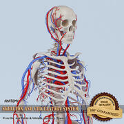 Skeleton and Circulatory System 3d model