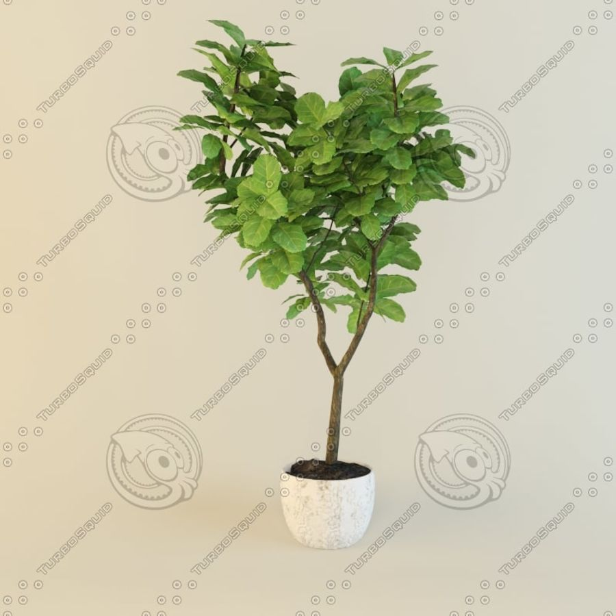 Ficus plant royalty-free 3d model - Preview no. 7