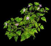 Herb Robert Geranium robertianum 3d model