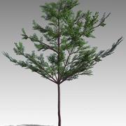 Amêndoa Tropical (Terminalia catappa) 3d model