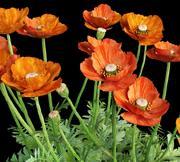Oriental poppy papaver orientale 3d model