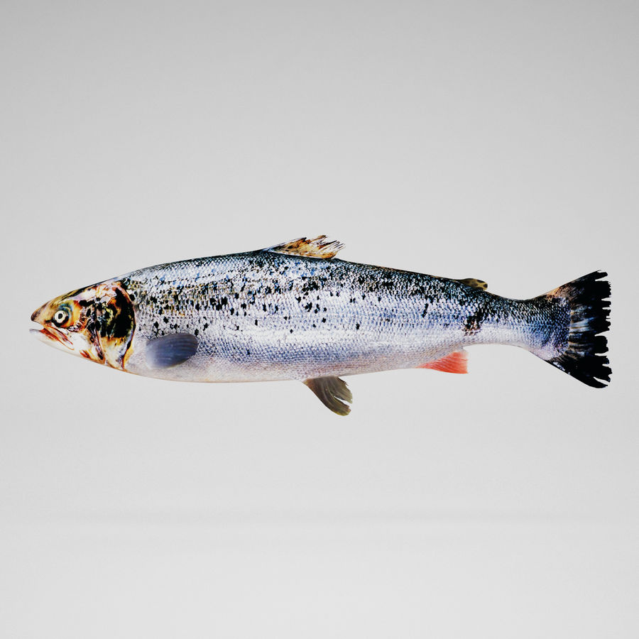 salmone royalty-free 3d model - Preview no. 1