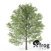 XfrogPlants Sweet Birch 3d model
